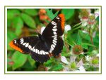 Lorquin's Admiral on Blackberry Card