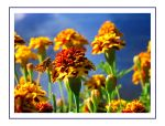 Skipper on Marigold Card