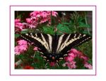 Pale Swallowtail Card